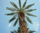 3_date-palm-with-harvest-ladder-thermal-riverside-county-web