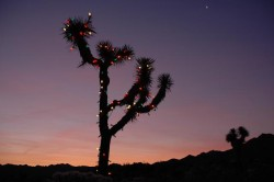 Christmas Joshua Tree