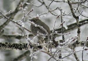 bird_BarbaraCully