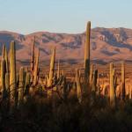 Setting sun on Saguaro Cacti and Galiuro Mountains behind; SE of San Manuel, AZ
