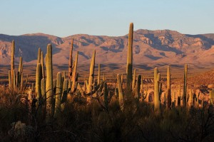 Setting sun on Saguaro Cacti and Galiuro Mountains behind; SE of San Manuel, AZ