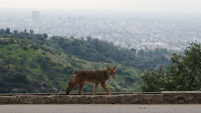 Coyote Los Angeles