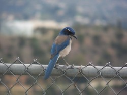 Western scrub jay at Griffith Park