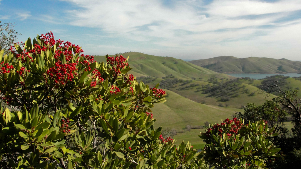 Toyon on Los Vaqueros Watershed Miwok Trail