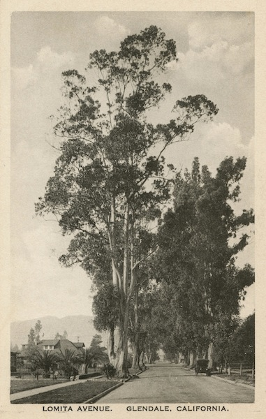 A eucalyptus grows in Glendale