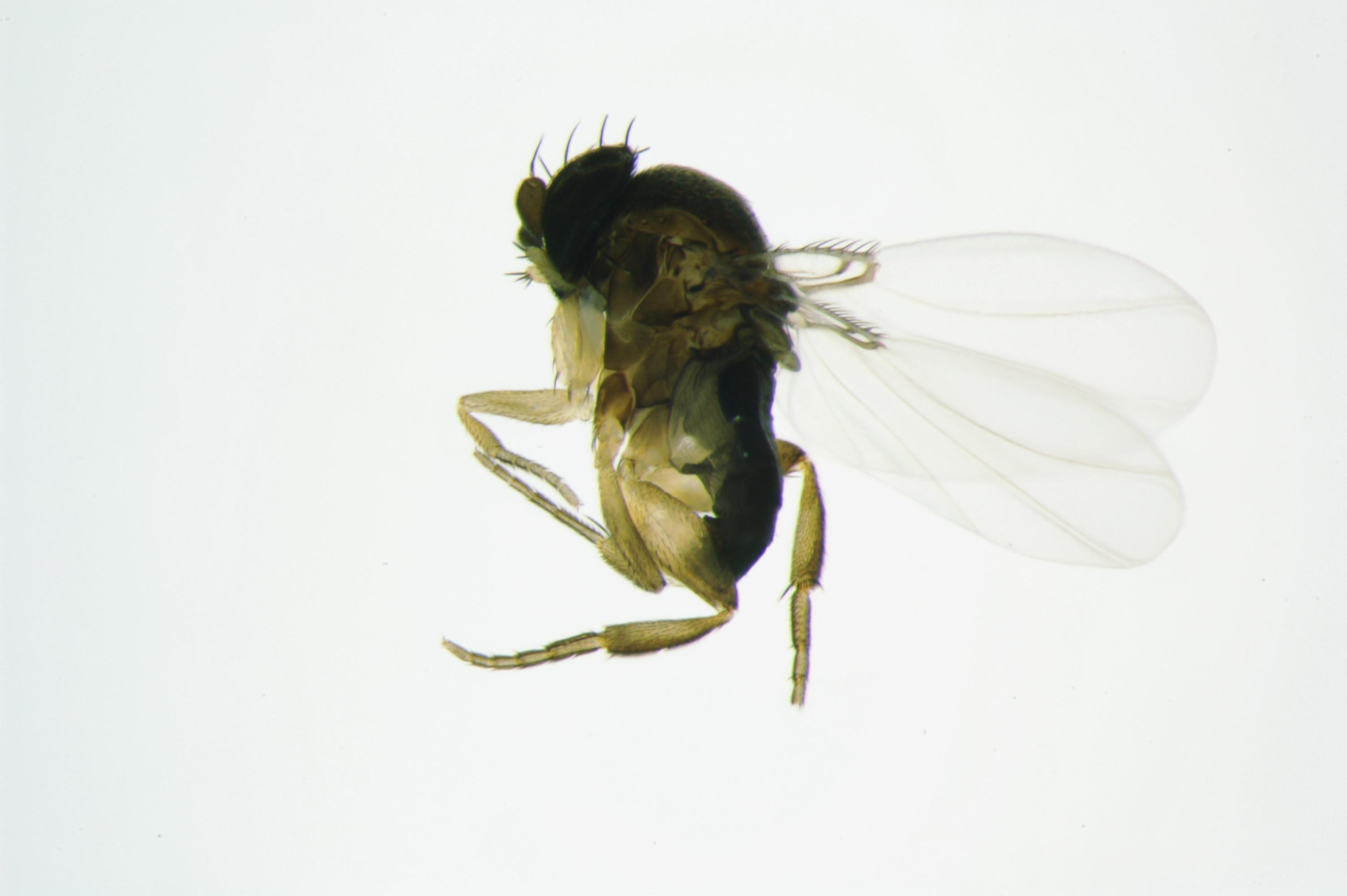 Antdecapitatingfly_Pseudacteon_wings_15245