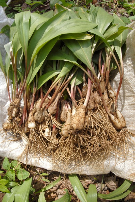 "A ""mess"" of ramps, wild mountain leeks, Unicoi County, Tennessee."
