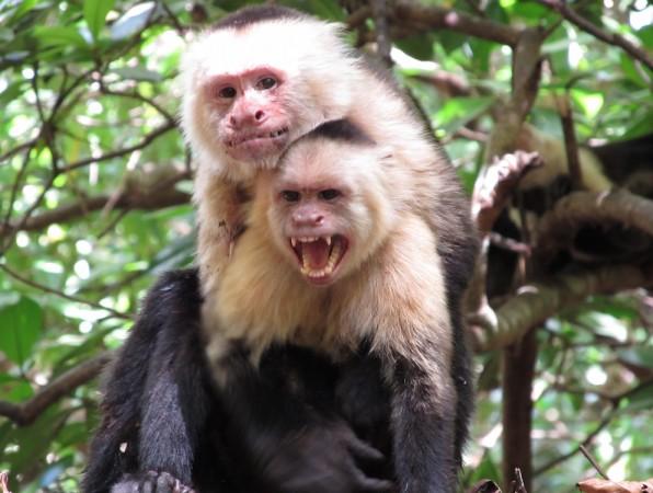 Perry coalition capuchin monkeys
