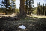 A tiny patch of snow sits in the shade of a tree at the site of a California Department of Water Resources snow survey in Phillips, California May 1, 2014. The reading at Phillips is zero, where it typically averages roughly 40 inches of snow on May 1, and the statewide snowpack water content is at 18 percent of average. REUTERS/Max Whittaker (UNITED STATES - Tags: ENVIRONMENT SOCIETY) - RTR3NGCX