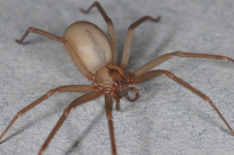 Do Brown Recluse Spiders Reign by Terror?