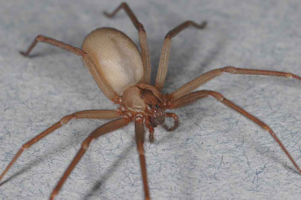 do brown recluse spiders reign by terror essay zocalo public  an arachnologist dispels the fears of the eight legged boogeyman