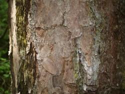 Shortleaf pine bark