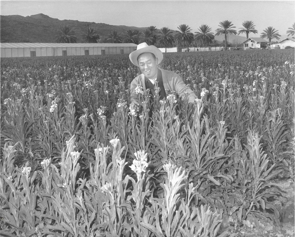 The japanese american flower growers who made phoenix bloom   who ...