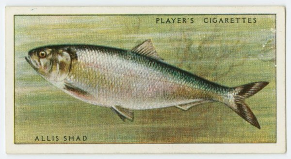 An image of an ale wife, also known as allis shad, from an Arents cigarette card from the U.K. (Photo: New York Public Library/George Arents Collection)