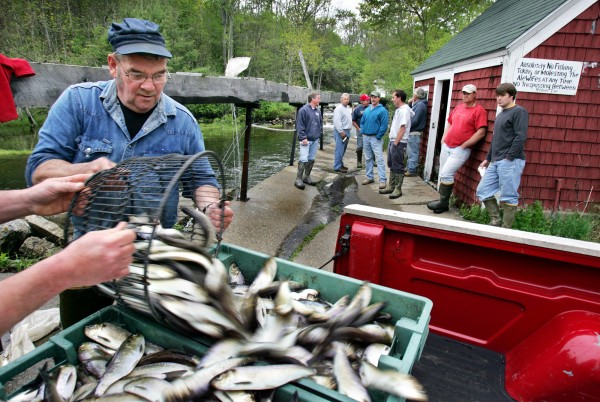 In this 2005 image, alewives are loaded onto a pickup in Nobleboro, Maine.(Photo: Robert F. Bukaty/Associated Press)