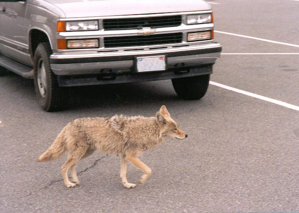 Coyotes have demonstrated amazing resiliency and adaptability in the presence of humans.