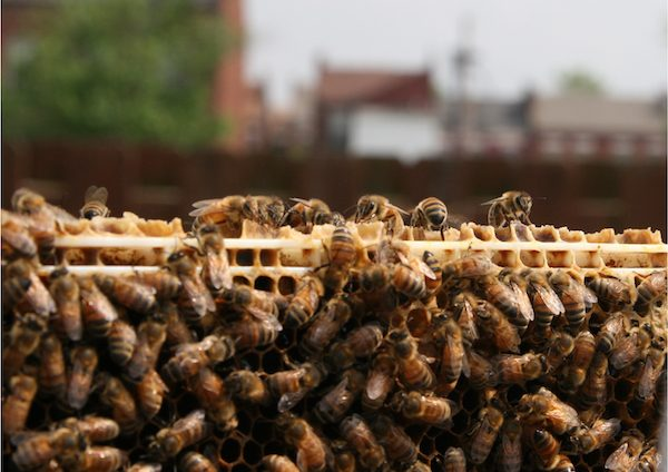 Bees at the Living Proposal sanctuary in St. Louis, Missouri. Photo courtesy of Juan William Chávez.