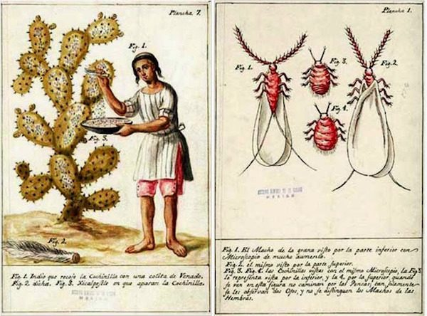 An illustration of cochineal collection by Mexican priest and scientist José Antonio de Alzate y Ramírez, 1777.  Newberry Library, Edward E. Ayer Manuscript Collection.