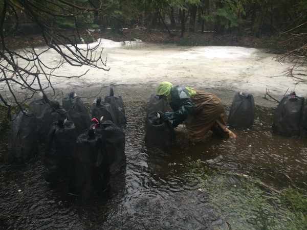 Hoffmann, in waders and giant gloves, checks some salamander breeding cages in a small vernal pool still partly covered with ice. It was raining. Big Night is more fun for amphibians than it is for people. Courtesy of Kristine Hoffmann.