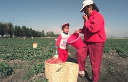 Andrea Rosales stops to snack on a strawberrry from a field she is picking in Irapuato Mexico, April 3, 1997, as her son Juan Antonio, 4, watches. Photo by Joe Cavaretta/Associated Press.
