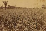 Corn fields, eastern Kansas. Underwood & Underwood (Publisher). Image courtesy of Robert N. Dennis collection of stereoscopic views. The Miriam and Ira D. Wallach Division of Arts, Prints and Photographs: Photography Collection. New York Public Library Digital Collections.