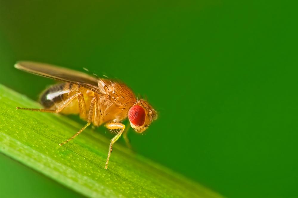 drosophila melanogaster lab report pdf
