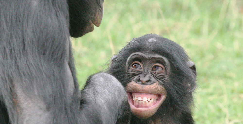 a paper on the behavior of chimpanzees Read chimpanzees free essay and over 88,000 other research documents chimpanzees chimpanzees are a genus of the great ape of africa  chimpanzees behavior.