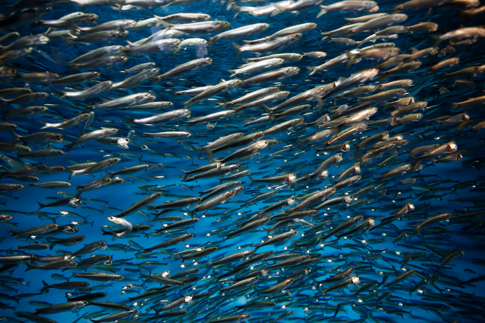 All Hail the Pacific Sardine, an Indomitable but Endangered Fish | Zocalo Public Square • Arizona State University • Smithsonian