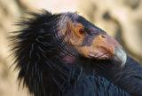 the condor is a scavenger | Zocalo Public Square • Arizona State University • Smithsonian