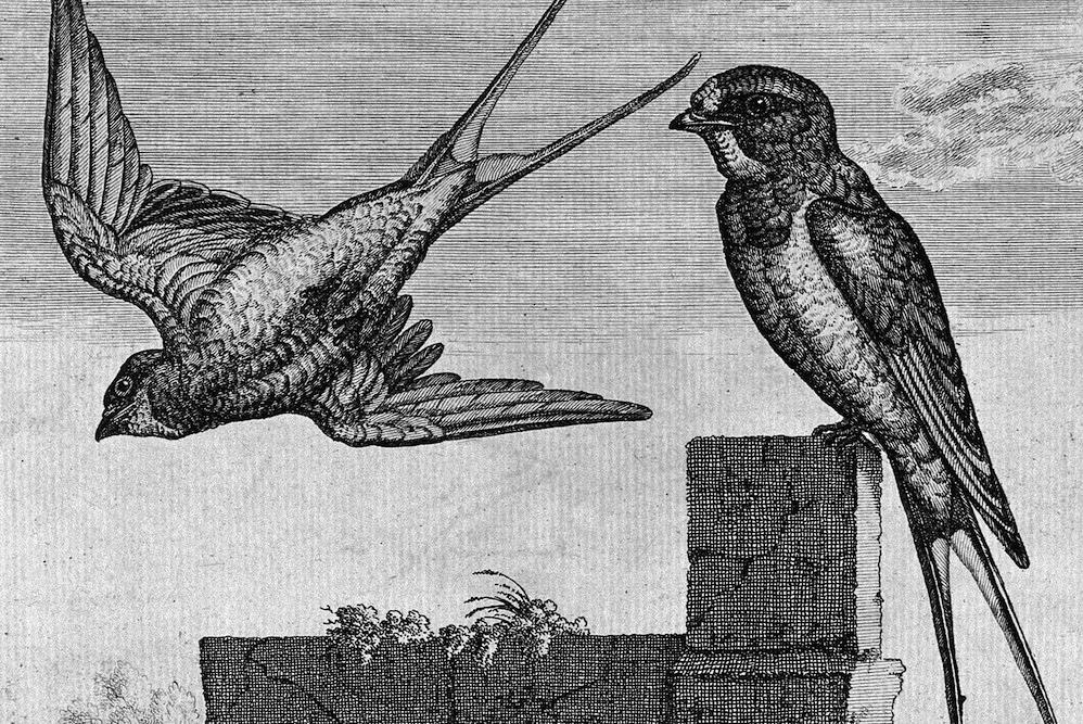 Swallows in the Grasslands | Zocalo Public Square • Arizona State University • Smithsonian