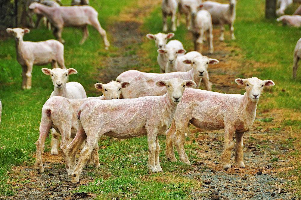 The Joys of Shearing Ornery, 250-Pound Sheep | Zocalo Public Square • Arizona State University • Smithsonian