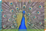 Where I Go: L.A.'s Arboretum, Where the Peafowl Hunt You in Packs | Zocalo Public Square • Arizona State University • Smithsonian