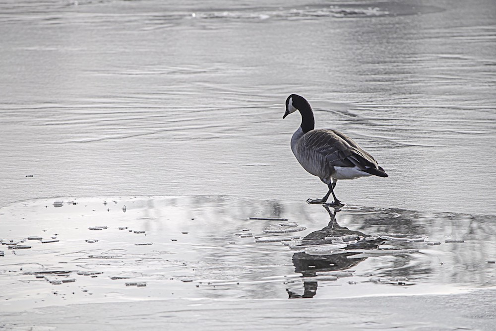 Displaced Bird | Zocalo Public Square • Arizona State University • Smithsonian