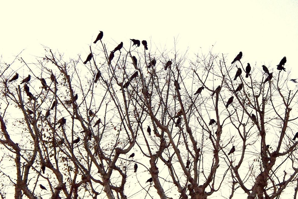 a tree of crows can never sing a festive carol | Zocalo Public Square • Arizona State University • Smithsonian